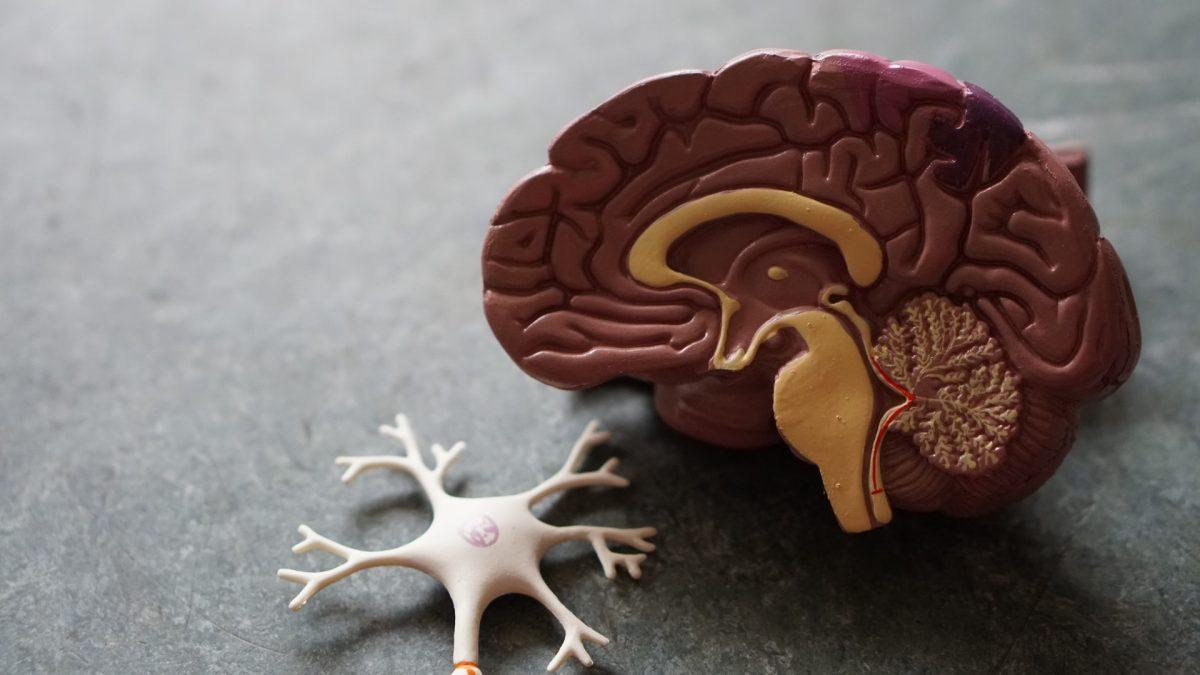 Det sker der i hjernen når du lærer noget nyt